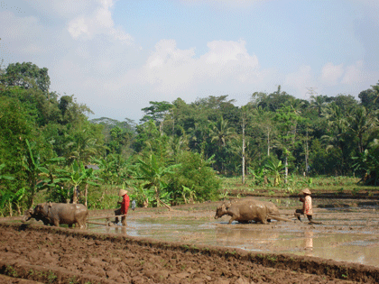 Buffaloes working in the ricefields